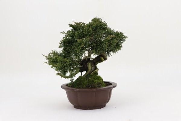 Bonsai importado de Japón